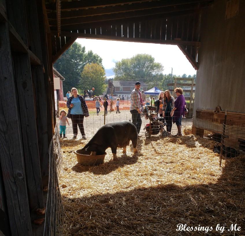 Pumpkin Patch Pig