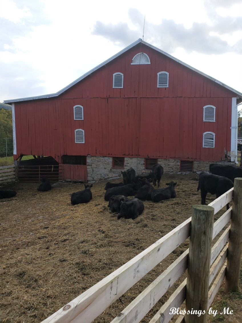 Pumpkin Patch - cows