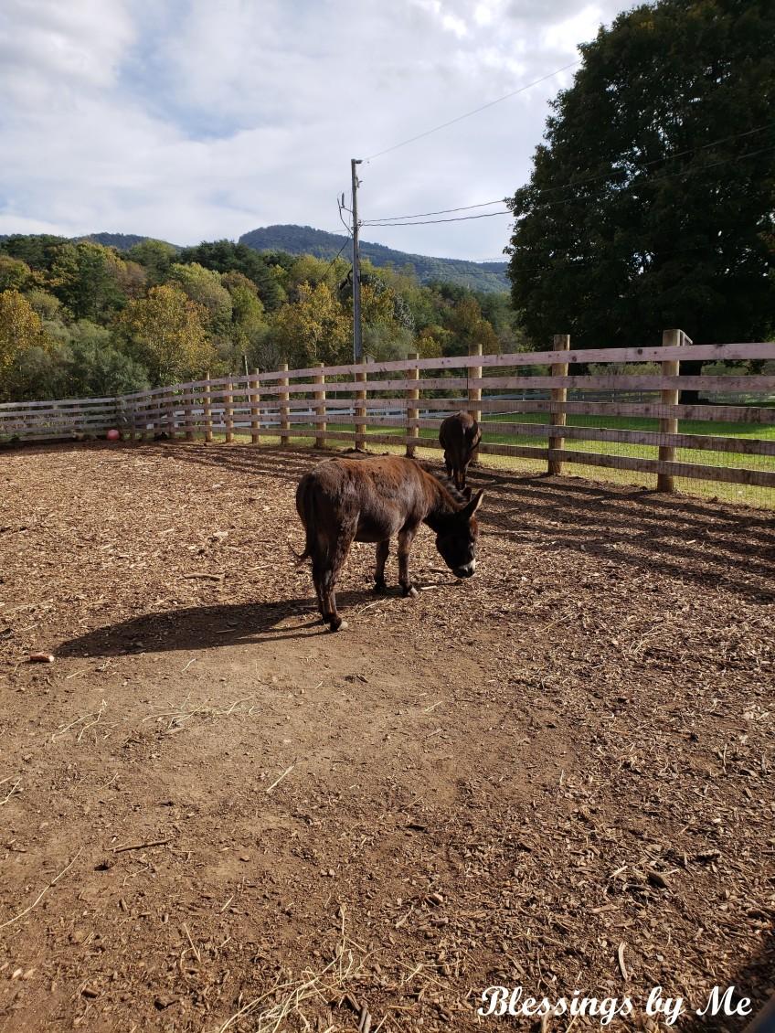 Pumpkin Patch Donkeys