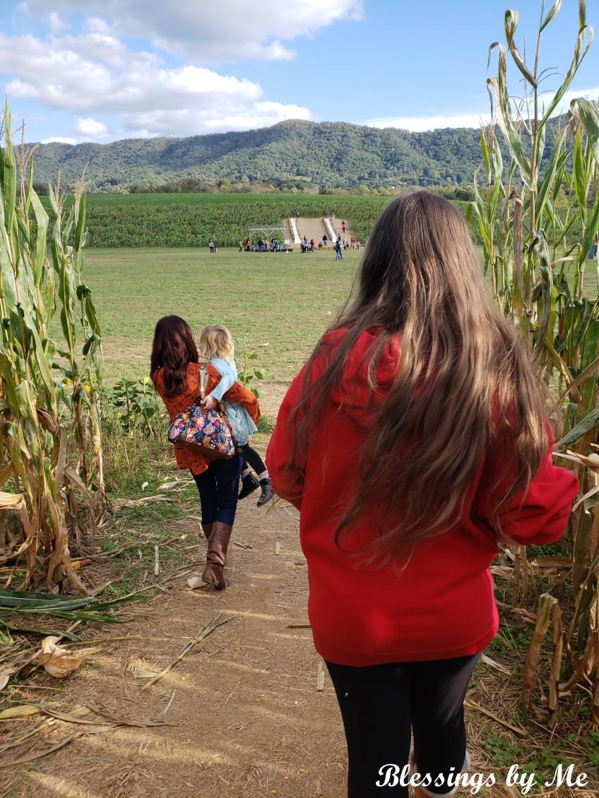 corn maze going into the pumpkin patch